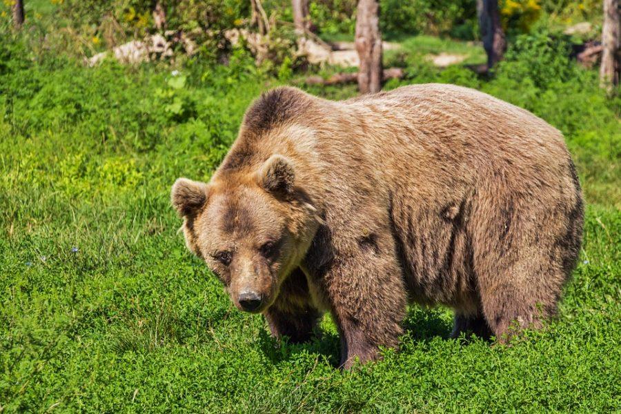 Niedźwiedź brunatny – charakterystyka