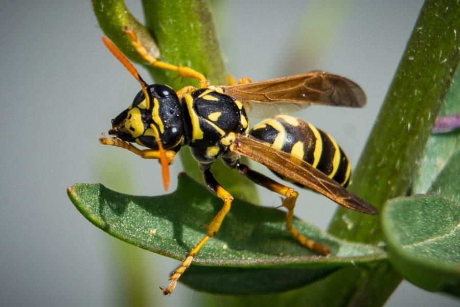 Osy i pszczoły czym się różnią
