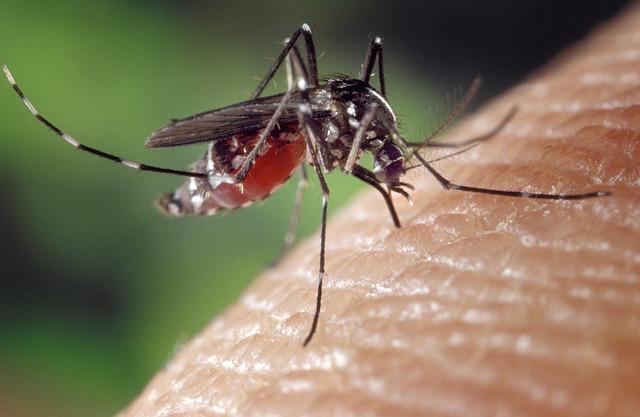 Komar gryzący człowieka
